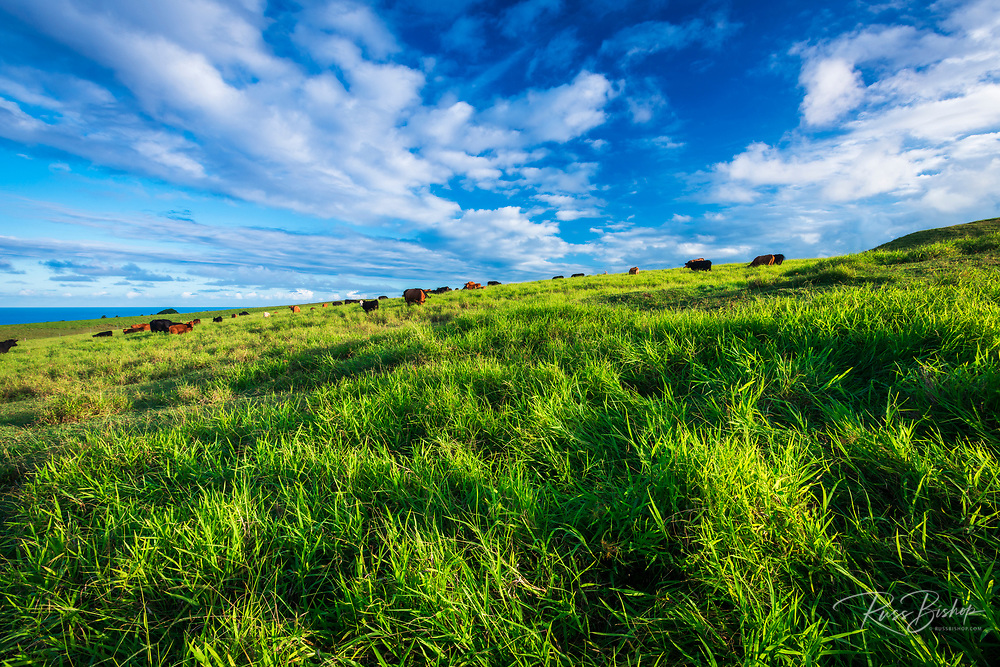 Cattle in a pasture on the Hamakua Coast, The Big Island, Hawaii USA