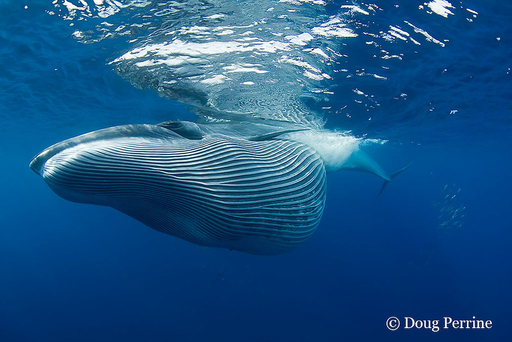 Bryde's whale, Balaenoptera brydei or Balaenoptera edeni, with throat pleats expanded after feeding on baitball of sardines, Sardinops sagax, off Baja California, Mexico ( Eastern Pacific Ocean ) #6 in sequence of 7