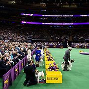February 16, 2016 - New York, NY : Dogs compete in the sporting division group final of the 140th Annual Westminster Kennel Club Dog Show at Madison Square Garden in Manhattan on Tuesday evening, February 16, 2016. CREDIT: Karsten Moran for The New York Times