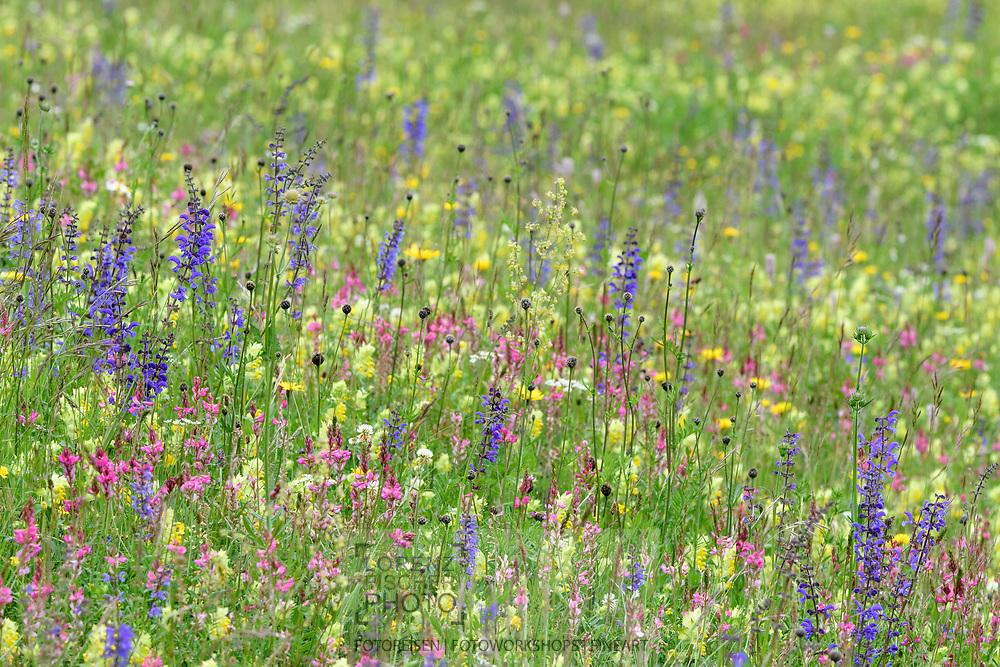 Artenreiche Wiese mit Wiesen-Salbei (Salvia pratensis), Saat-Esparsette (Onobrychis viciifolio) und Klappertopf (Rhinantus) oberhalb Tiefencastel an einem bedeckten Fr&uuml;hlingstag im Juni, Graub&uuml;nden, Schweiz<br /> <br /> Species-rich meadow above Teifencastel on a overcasted spring day in June, Grisons, Switzerland