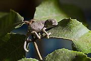 Mediterranean chameleon also Common Chameleon (Chamaeleo chamaeleon). Photographed in Israel,