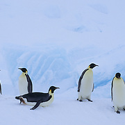 Emperor Penguin (Aptenodytes forsteri) adults at Riiser Larsen Ice Shelf in Antarctica.