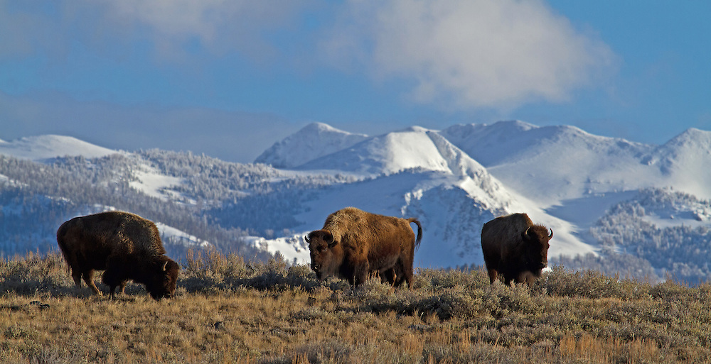 A small herd of bison enjoy forage uncovered by a mid-March thaw on Yellowstone's Blacktail Plateau.  Although winter conditions in Yellowstone can be quite brutal, windswept hillsides are often the first to green up once the warming spring sun emerges.