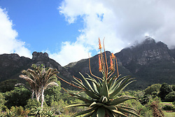 Dec. 04, 2012 - Agave plant and table mountain, cape town, south africa (Credit Image: © Image Source/ZUMAPRESS.com)