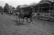"08/05/1964<br /> 05/08/1964<br /> 08 May 1964<br /> R.D.S. Spring Show Ballsbridge Dublin, Winner of Single Harness Championship Cup, Mr. R.J. McFarland of Claddagh, Pond Park Road, Lisburn, Co. Antrim with his black stallion ""Hurstwood Ebony"" after his win at the Dublin Spring Show."