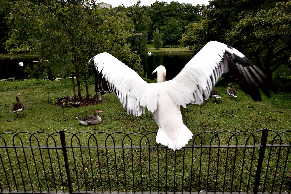 London, St. James Park: resident white pelican stretching its wings wide, perched on the fenced enclosure for other resident birds, seems to be supervising the group of ducks on the lawn beyond.  In the middle distance, the lake and a couple of swans.
