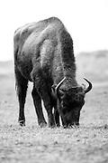 European bison (Bison bonasus) grazing