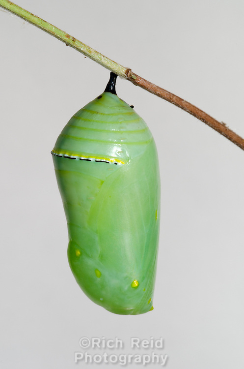 Monarch butterfly, Danaus plexippus chrysalis metamorphosing into a butterfly in a studio in Oak View, California.