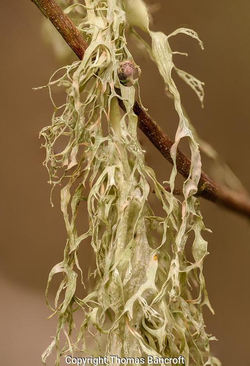 Mesnzie's Cartilage Lichen or also called Canopy Fishnet Lichen