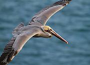 Brown Pelican gliding in La Jolla