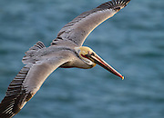 Brown Pelican gliding in La Jolla
