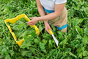 Hannah Semler of Healthy Acadia gleans spinach at Four Season Farm, Harborside, ME