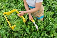 Hannah Semler of Healthy Acadia gleans spinach at Four Season Farm, Harborside, ME