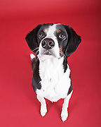 dog, canine, portrait, portraiture, mixed breed, cross breed, mutt