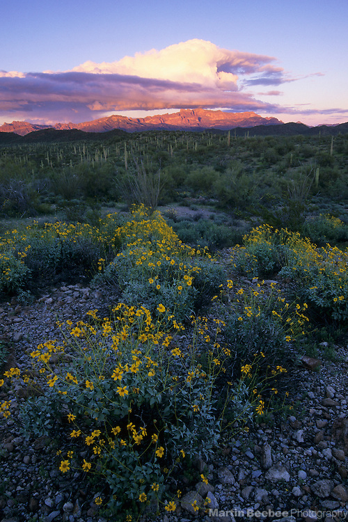 Brittlebush (Encelia farinosa) and  the Ajo Range at sunset, Organ Pipe Cactus National Monument, Arizona