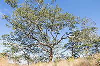Large open canopied tree and grassland, Cecil Kop Nature Reserve, Mutare, Manucaland Province, Zimbabwe