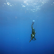 A speardiver descends into a dive while spearfishing of the coast of NC.