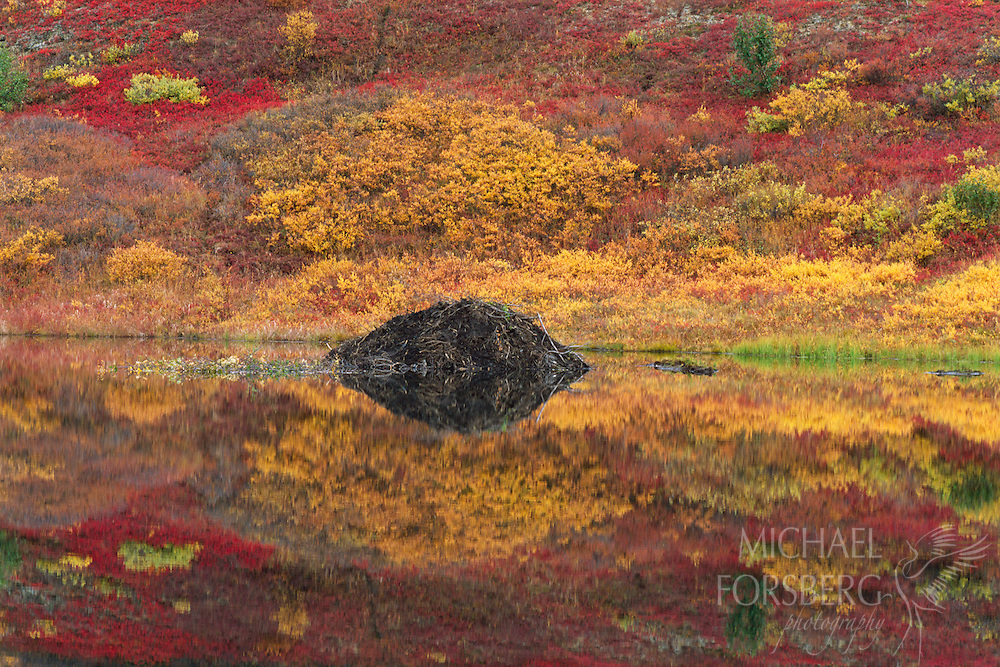 A beaver's lodge rises out of a still pond in Denali National Park, Alaska.
