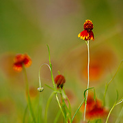 A spring bloom of Mexican Hat wildflowers on a South Texas ranch.