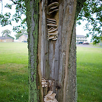 Mushrooms growing out of a tree whose trunk was damaged. Mushrooms growing out of a tree whose trunk was damaged.