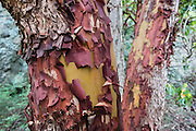 Red bark of the Pacific Madrone or Madrona (Arbutus menziesii) peals in a pattern to reveal a new yellow layer, in Deception Pass State Park, on Whidbey Island, in Washington, USA. Photographed along the lovely Goose Rock Perimeter Trail.