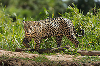 A jaguar, Panthera onca, walking in the grass in the Pantanal region of Brazil.