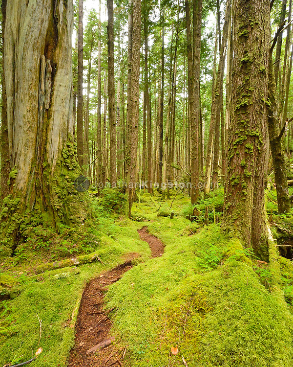 Trail through the moss covered temperate rainforest of SGang Gwaay or Anthony Island, Haida Gwaii, British Columbia.