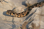 Israel, Vipera palaestinae is a venomous viper species found in Syria, Jordan, Israel and Lebanon September 2008