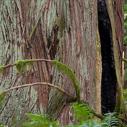 Western Red Cedar (Thuja plicata) on Fragrance Lake Trail, Larrabee State Park, Bellingham, Washington, US