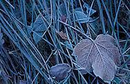 DEU, Germany, Bergisches Land region, rime on grass and leaves....DEU, Deutschland, Bergisches Land, Raureif auf Graesern und Blaettern, ........