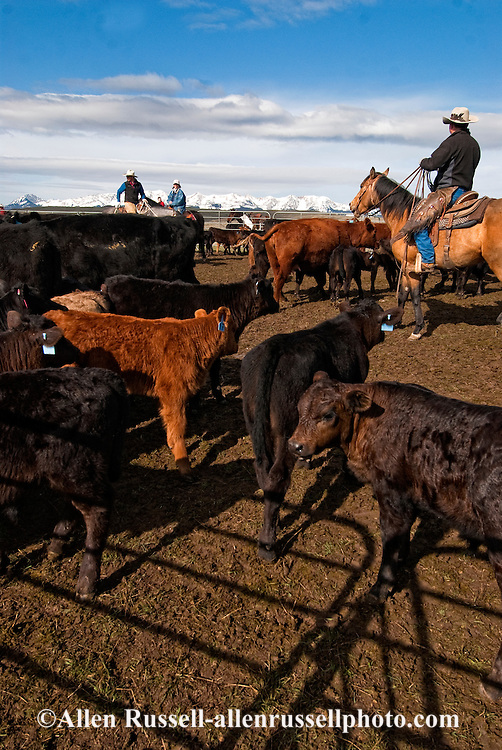 Cowboys sorting Angus cows and calves for branding, Wilsall, Montana, Bridger Mountains