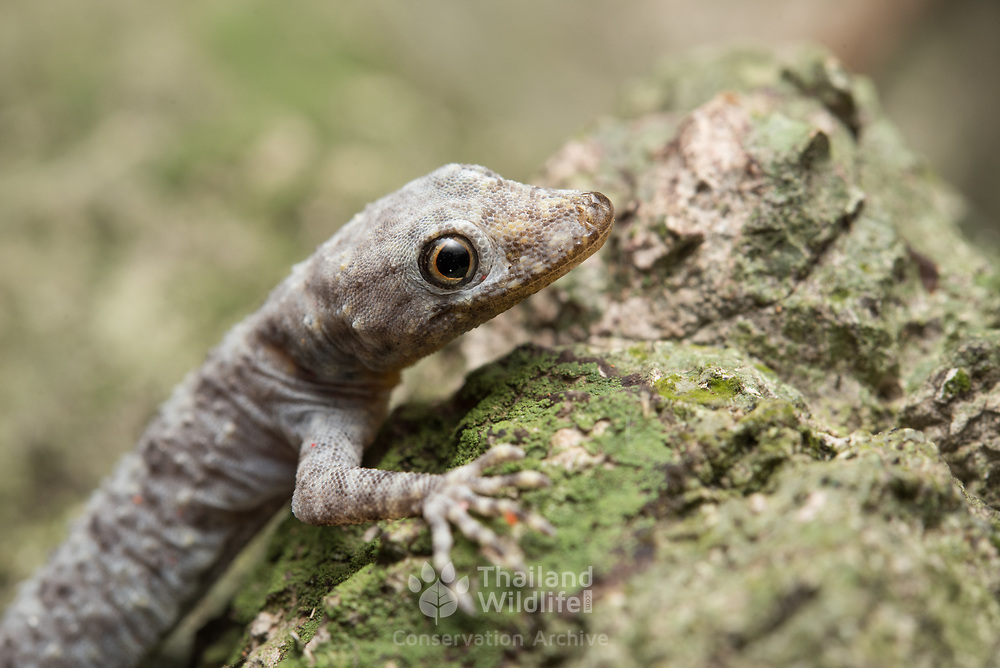 Siamese rock gecko (Cnemaspis siamensis) in Sawi district, Chumphon, Thailand