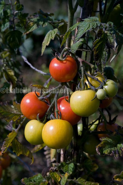 Vine tomatoes ripening on the sun.
