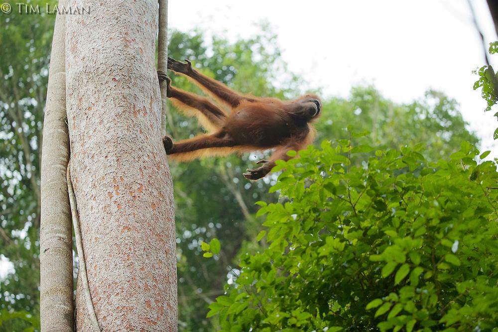 Bornean Orangutan <br />Wurmbii Sub-species<br />(Pongo pygmaeus wurmbii)<br /><br />Adult female Walimah makes the move to exit the Artocarpus with Ficus stupenda.<br /><br />Gunung Palung Orangutan Project<br />Cabang Panti Research Station<br />Gunung Palung National Park<br />West Kalimantan Province<br />Island of Borneo<br />Indonesia