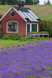 North America, United States, Washington, Sequim, field of lavender and red garden shed at Lavender Festival, held annually each July