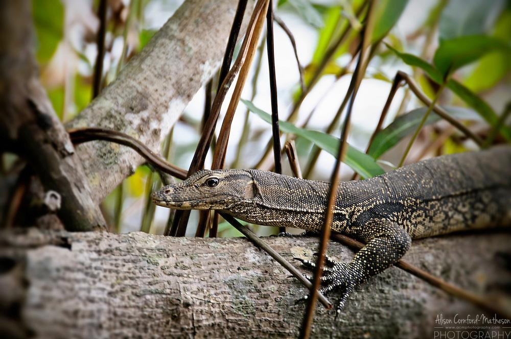 A monitor lizard basks on the shores of the Klias River, in Sabah, Malaysia For more information, visit http://cheeseweb.eu/2013/06/cruising-sabahs-klias-river-photos/