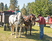 Cowboy checking on his horses during the Thousand Springs Art Festival at Ritter Island near Hagerman, Idaho.