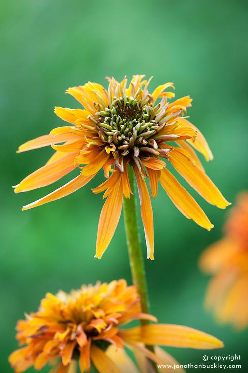 Echinacea 'Summer Samba'