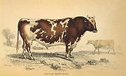 Beef Shorthorn bull. Hand coloured engraving by W.H.Lizars (1788-1859). From William Jardine 'New Naturalist' series.