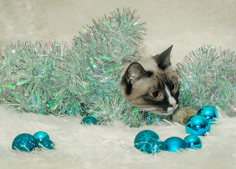 Twinkie, a one-year-old Siamese cat, plays with Christmas garland, Dec. 26, 2014, in Coden, Alabama. (Photo by Carmen K. Sisson/Cloudybright)