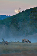 Elk full moon Yellowstone sunrise