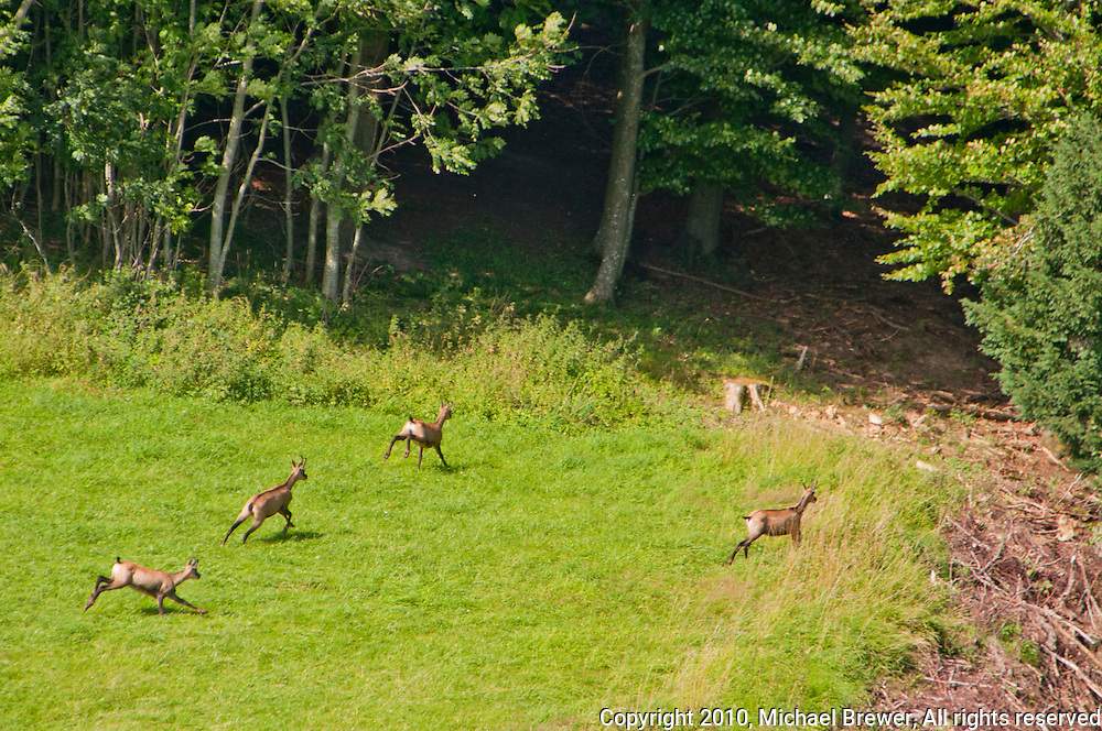 Four chamois running for cover towards the woods in Thurgau, Switzerland.