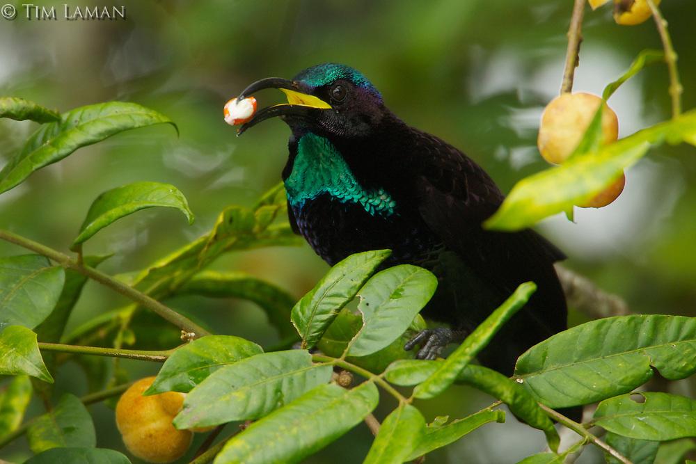 Paradise Riflebird (Ptiloris paradiseus)<br />Adult male feeding at fruiting Dysoxylum tree.