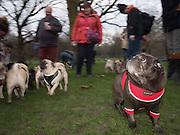 London Pugs monthly meetup, Green Park, London. 7 January 2017