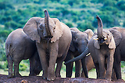 African Elephant family drinking and scenting the air from Hapoor waterhole, Addo Elephant National Park, Eastern Cape, South Africa