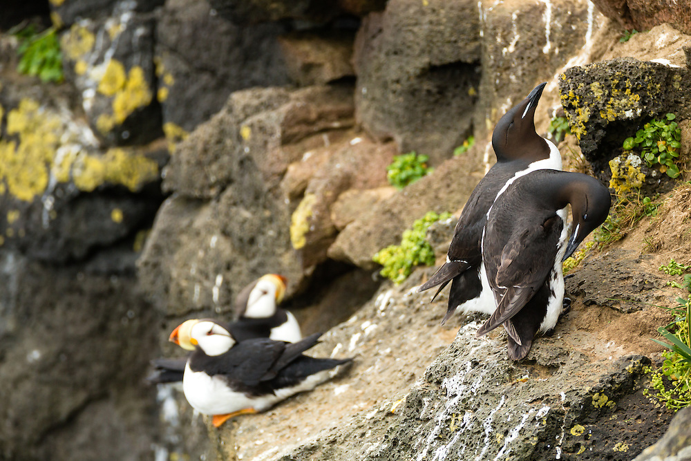 Thick-billed Murres (Uria lomvia) and Horned Puffins (Fratecula corniculata) perched on cliff overlooking Bering Sea on coast of St. Paul Island in Southwest Alaska. Summer. Afternoon.