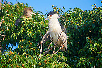 Black-crowned Night Heron (Nycticorax nycticorax)  perched in a tree, Jocotopec, Jalisco, Mexico