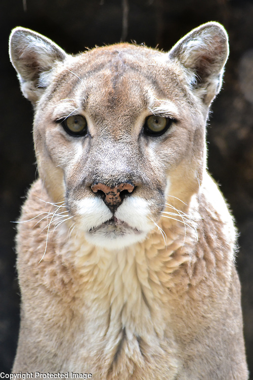 North American Mountain Lion