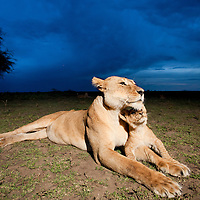 Tanzania, Ngorongoro Conservation Area, Ndutu Plains, Lioness and young Lion cub  (Panthera leo) resting at dusk on savanna