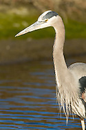 A great blue heron stands in a wetland marsh, looking for prey